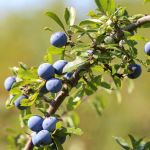What Is Irish Blackthorn?